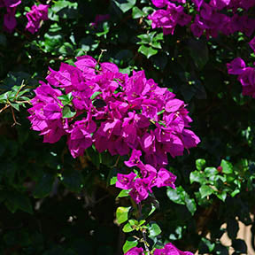 Bougainvillea Fabric Panel