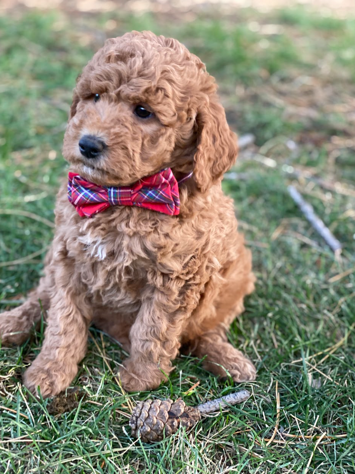 Dog Collar Bow Tie - Nicholas Plaid