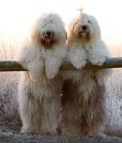 2 sheepdogs