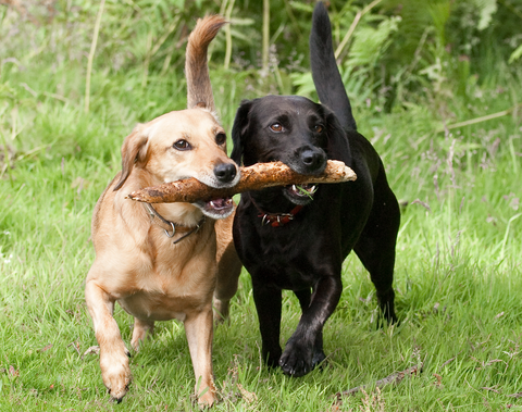 2 dogs playing with stick