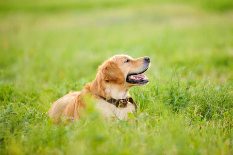 golden retriever in grass