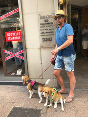 beagles with man