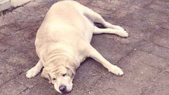 fat large golden Labrador retriever dog