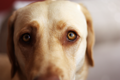 yellow Labrador retriever face