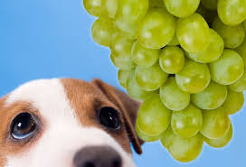 dog and grapes