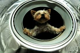 yorkie in space capsule