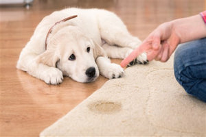 How to Remove Dog Pee Out Of An Area Rug