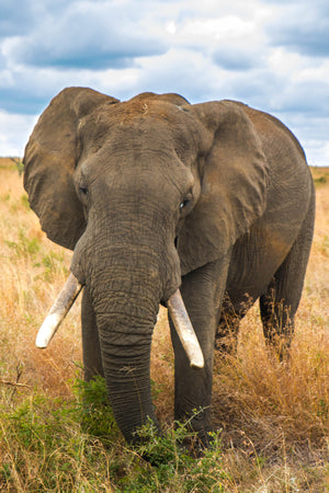 Portrait Africa Elephant by Rob's Wildlife / Rob Daugherty