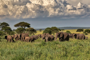 Herd of Elephants in Tarangire, Tanzania, Africa
