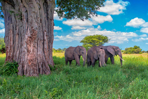 Herd of elephants under Baobab Tree in Tanzania