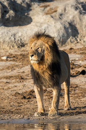 Full Body Lion Photography Print by Rob's Wildlife