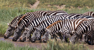 Line of Zebra drinking from watering hole