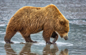 Clamming Coastal Brown Bear Photography Print by Rob's Wildlife