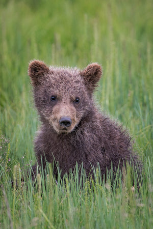Alaska Brown Bear Cub by Rob's Wildlife