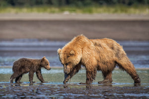 Alaska Brown Bear teaching cub to clam by Rob's Wildlife