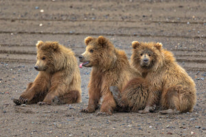 Grizzly Bear Triplets by Rob's Wildlife