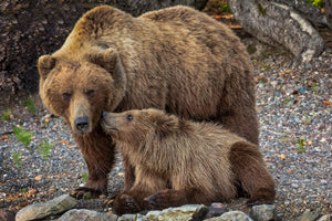 Mama and Baby Bear Fine - baby bear kisses