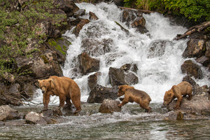 Grizzly Bear with cubs crossing waterfall photography print by Rob's Wildlife