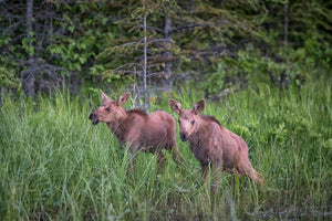 2 moose calves, baby moose art by Rob's Wildlife