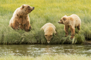 Alaska bear with twin bear cubs