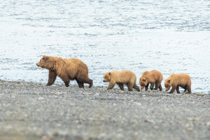 Mama Bear with bear triplets on beach by Rob's Wildlife