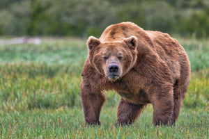 Mr Grumpy Pants, Alaska Brown Bear Art by Rob's Wildlife