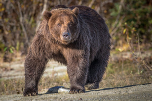 Coastal Brown Bear closeup by Rob's Wildlife