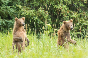 Standing Grizzly Bear Cubs, Wildlife Photography, Twin Bear Cubs by Rob's Wildlife