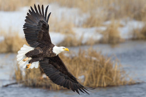 Soaring Bald Eagle neutral tone background Rob's Wildlife