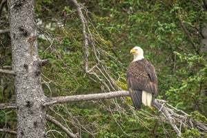 American Bald Eagle on branch, Eagle Art