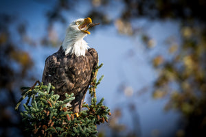 Bald Eagle eating fish, Bald Eagle in tree