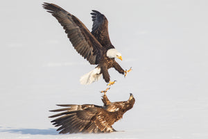 Bald Eagle, Juvenile Bald Eagle, Wildlife Photography by Rob's Wildlife