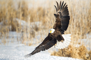American Bald Eagle over frozen marshland by Robs Wildlife
