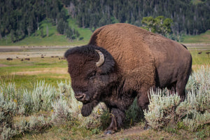 BIson in sagebrush, Buffalo Wall Art, Buffalo Photography by Rob's Wildlife