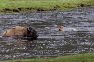 Baby Buffalo swimming in river by Rob's Wildlife