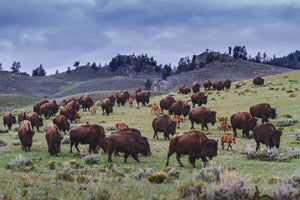 Bison herd Yellowstone by Rob's Wildlife Rob Daugherty