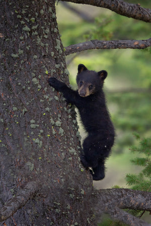 Baby Black Bear Cub in tree by Rob's Wildlife