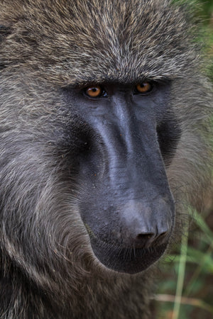 Baboon, Baboon Eyes, Wildlife Photography by Rob's Wildlife