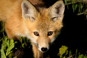 Cute baby fox closeup, fox photography print by Rob's Wildlife