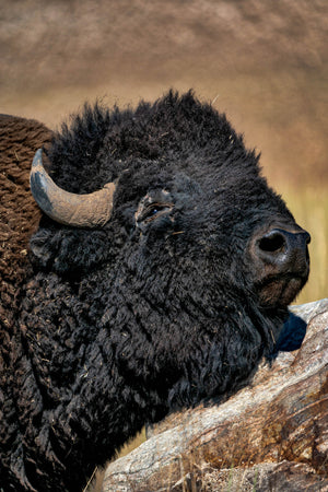 Bison Portrait, Buffalo Closeup by Rob's Wildlife
