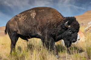 Bison, American Buffalo, Buffalo Side Profile, Bison Fine Art by Rob's Wildlife