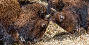 Bison locking horns, Buffalo Closeup, Wildlife Photography by Rob's Wildlife