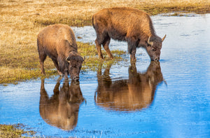 Drinking Bison, Reflection Buffalo Art, Buffalo Photography Print, Rob's Wildlife