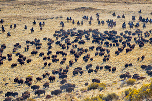 Large herd of bison, bison roundup, buffalo roundup, Rob's Wildlife