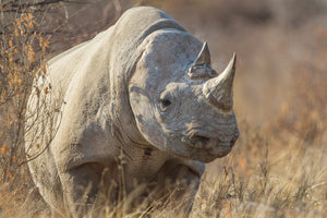 Black Rhino, Earless Animal, Rob's Wildlife