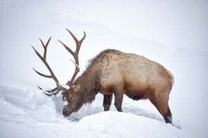 Elk digging through snow, Elk photography art