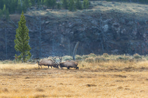 Two rutting elk, elk rut season, landscape art