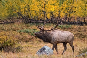 Bull elk during fall colors, elk art by Rob's Wildlife