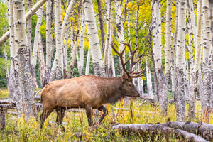 Elk in the Aspen Trees - Elk during fall colors art