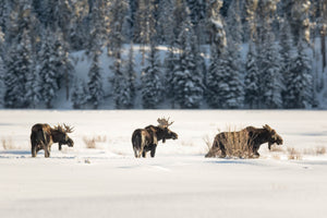 3 moose in snow, moose photography art by Rob's Wildlife